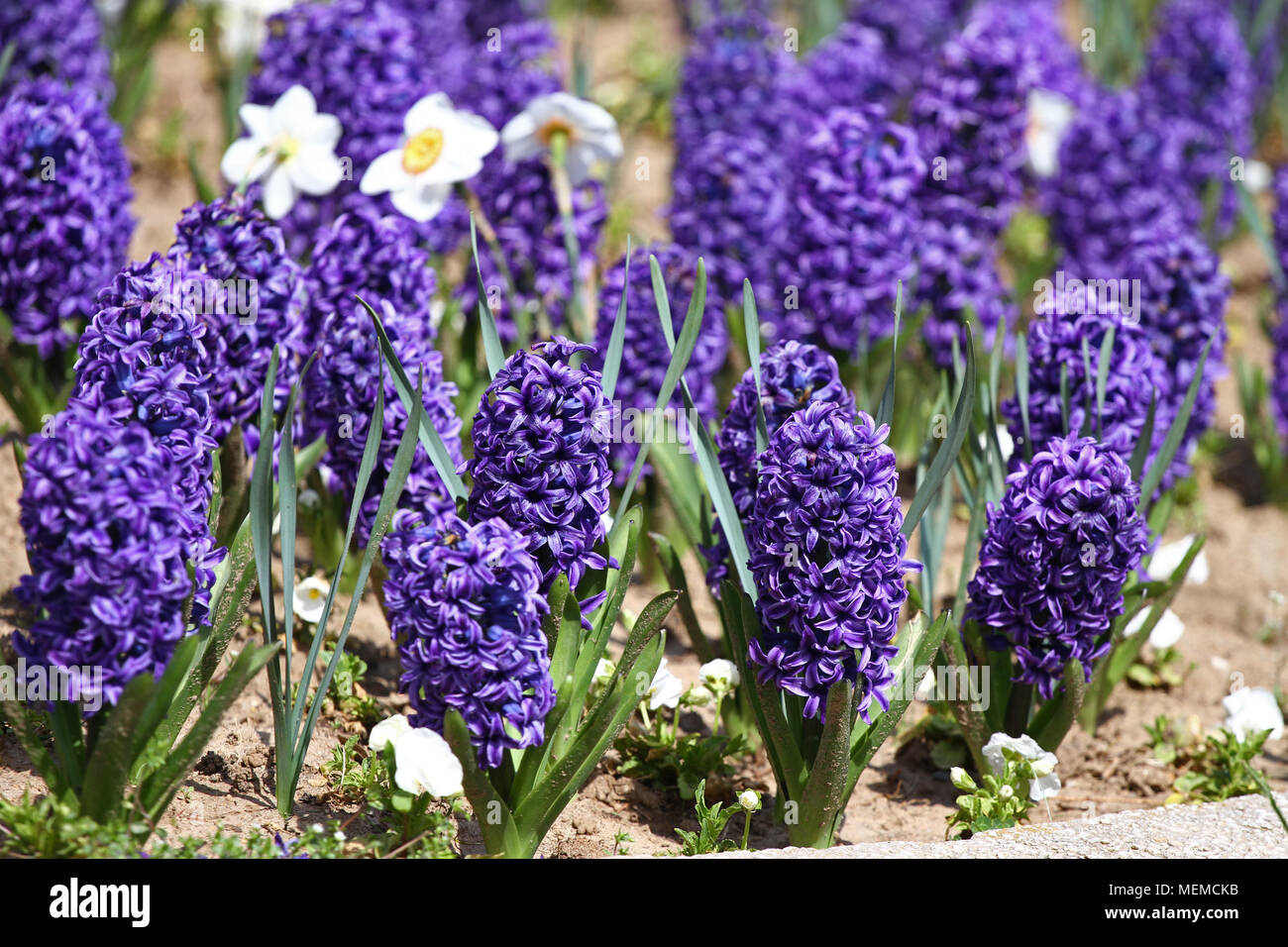 Hyacinth And Narcissus Daffodil Field Of Colorful Spring Flowers