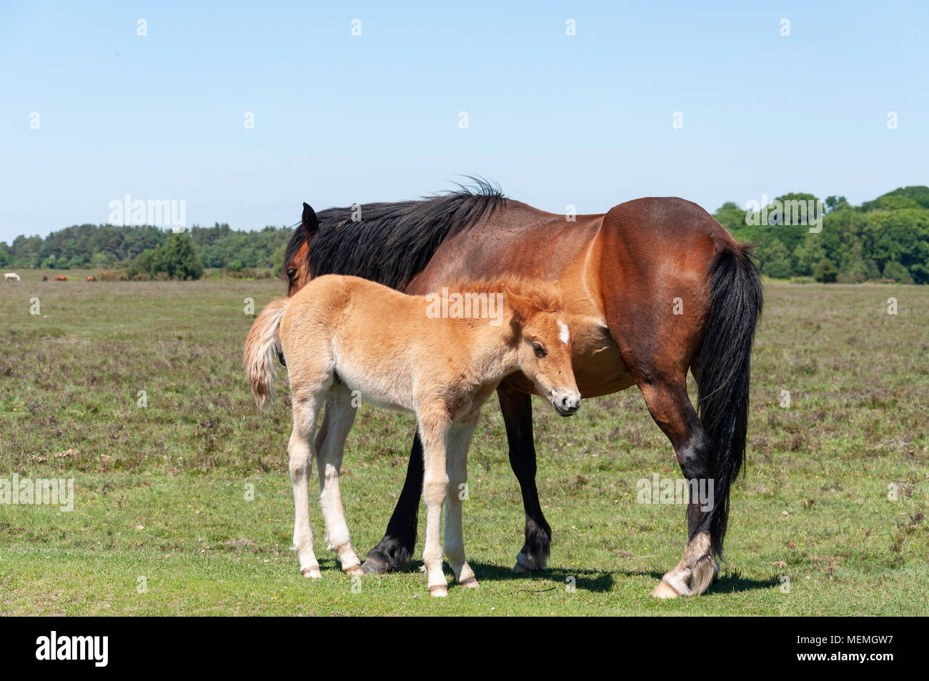 New Forest pony with foal, near Brook, Hampshire, England, United Kingdom - Stock Image