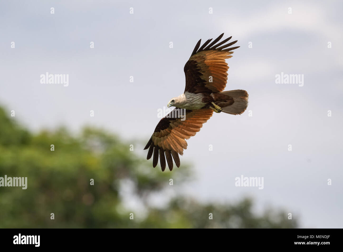 The brahminy kite (Haliastur indus), also known as the red-backed sea-eagle, is a medium-sized bird of prey in the family Accipitridae. - Stock Image