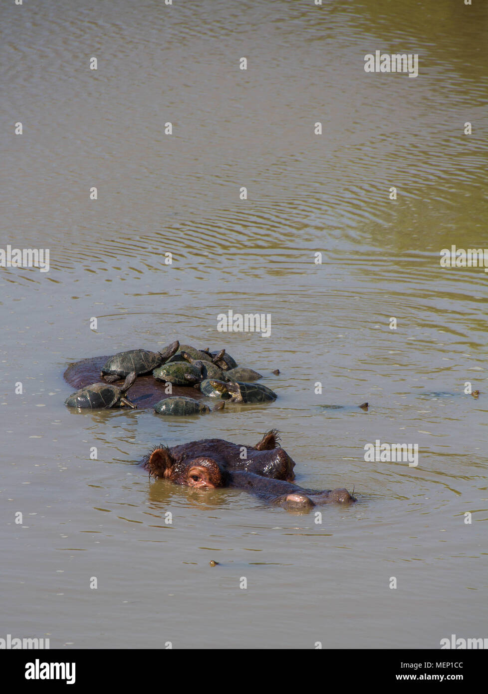 Terrapins catch a ride on the back of a large hippopotamus in the African wilderness image with copy space - Stock Image