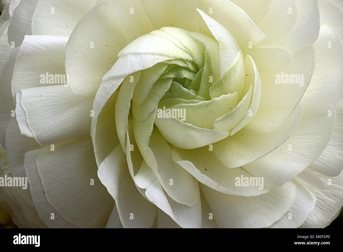 ranunculus flower with spiralling central petals Stock Photo