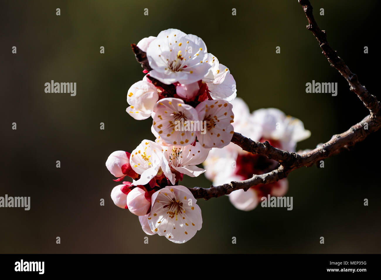 Japanese Cherry Blossoms, or Sakura, in full bloom on a beautiful spring day in Kanagawa, Japan. this small cluster is isolated for use in composites  - Stock Image