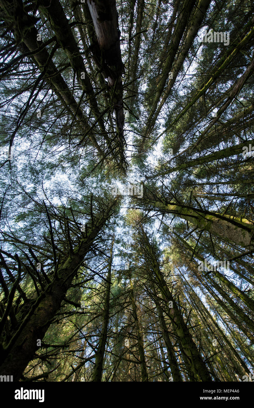 Worms eye view of the pine forest canopy. - Stock Image