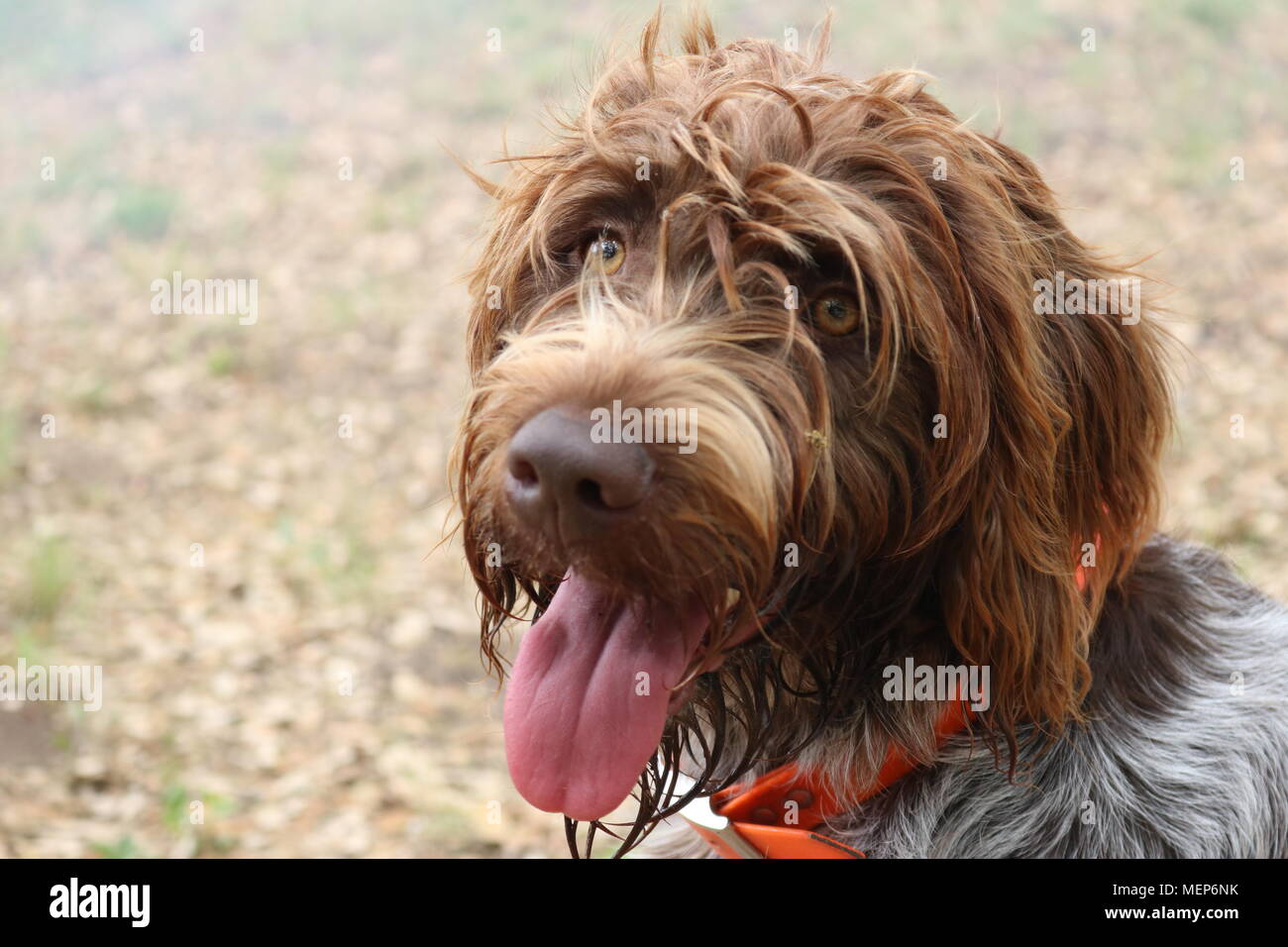 Portrait of wire-haired pointing griffon or Korthals Stock Photo
