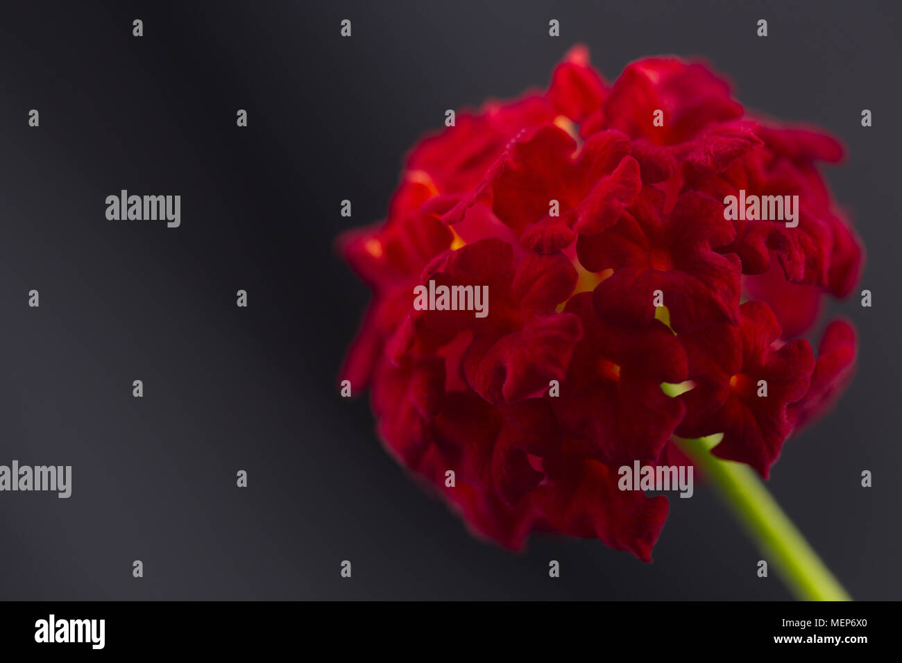Close up of perennial lantana blossom, a flower in verbena family that attracts butterflies and hummingbirds - Stock Image