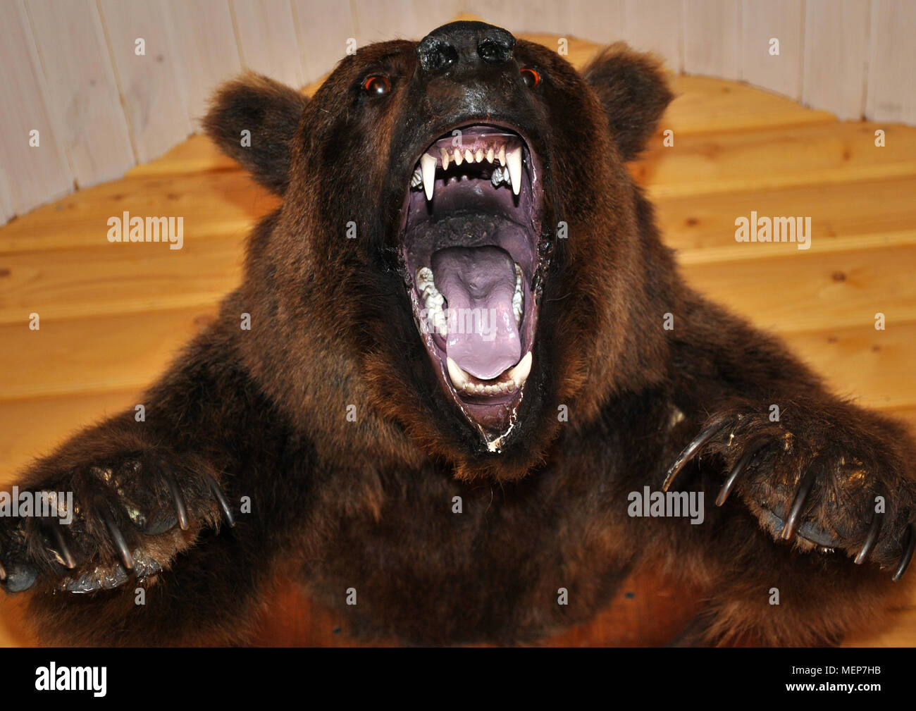 On the wall hangs a stuffed bear head with an open mouth. - Stock Image
