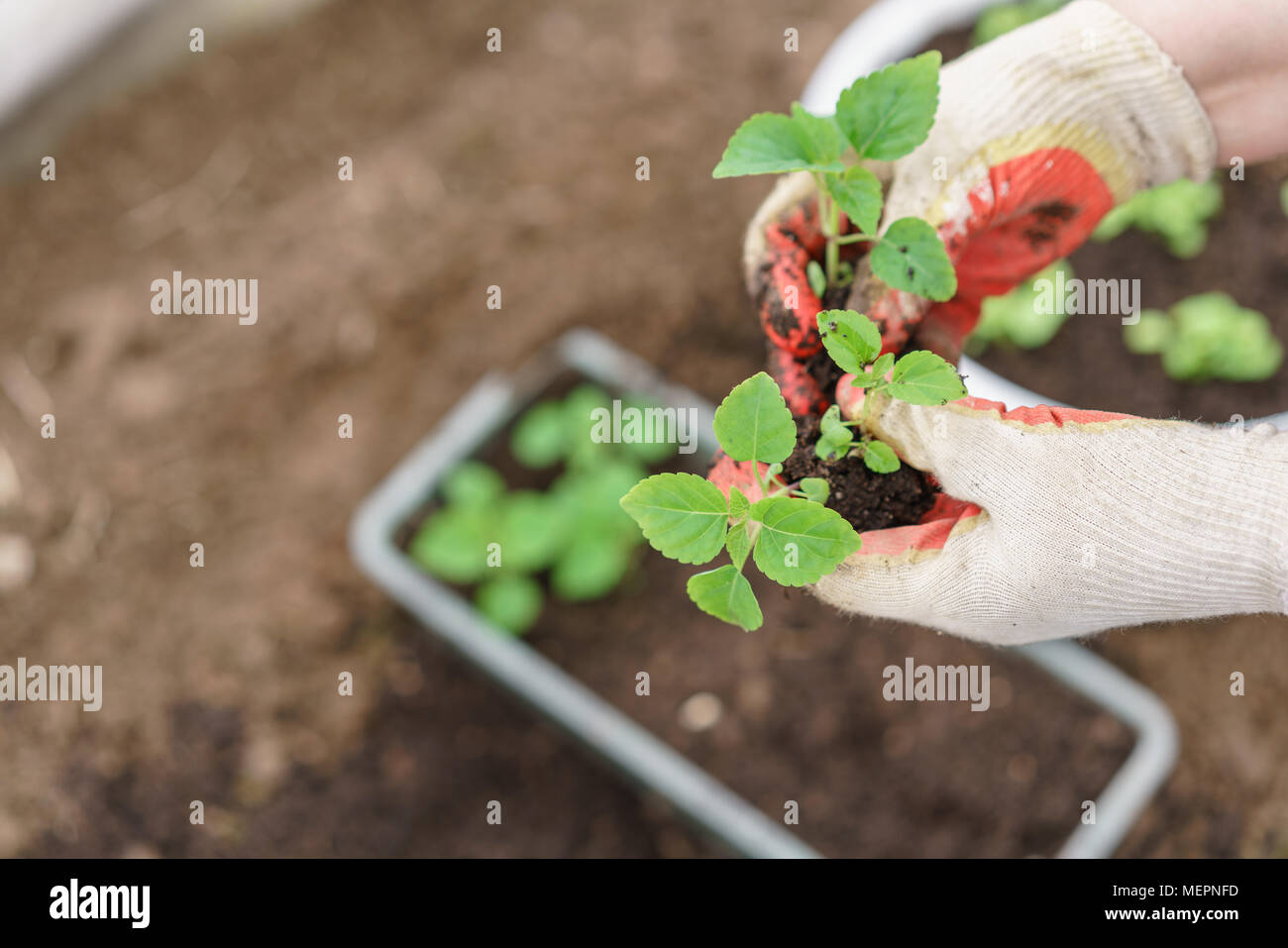 Hands holding beautiful purple basil plants with ground and