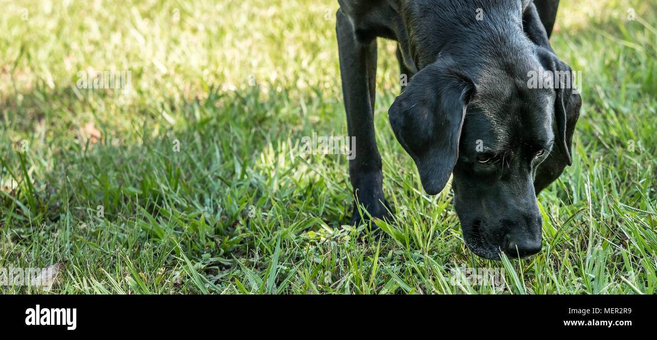 Black labrador retriever pointer mix dog sniffing the grass. - Stock Image