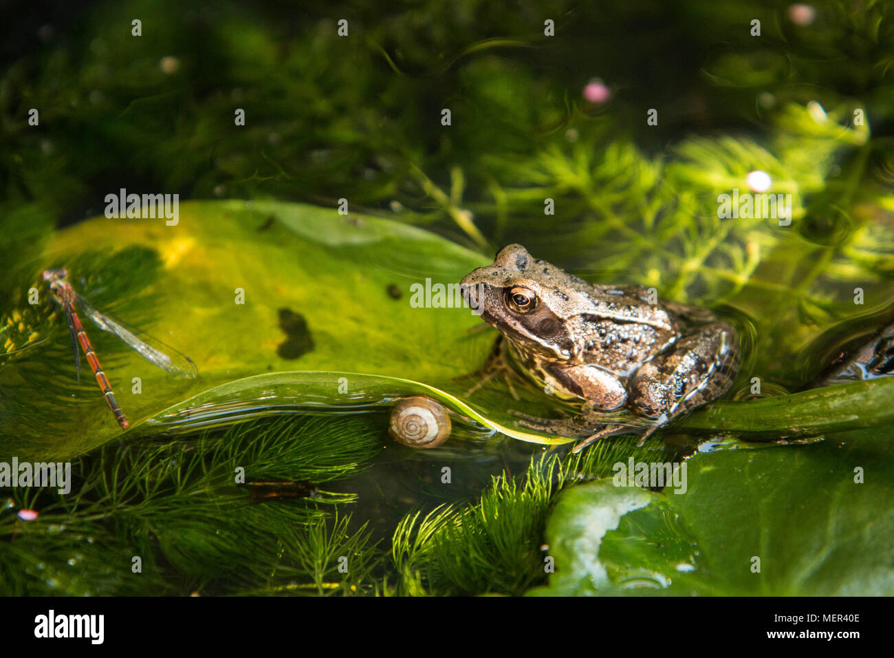Common Frog - Rana temporaria - Stock Image