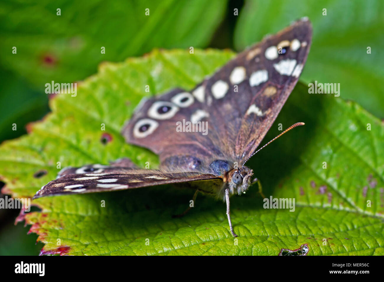 A Speckled Wood Butterfly. Found in and on the borders of woodland areas, this butterfly was found on vegetation above Scarborough's North Bay. - Stock Image