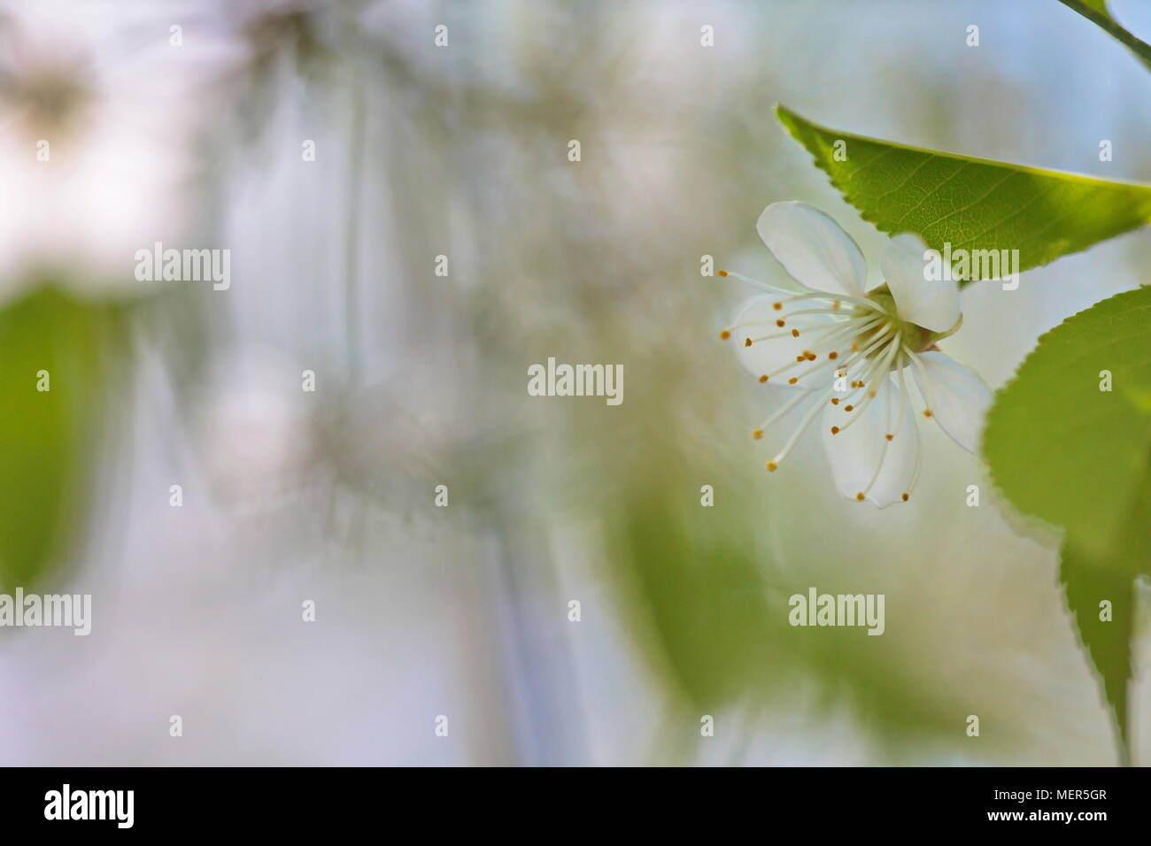 Close up of cherry blossoms in spring Stock Photo
