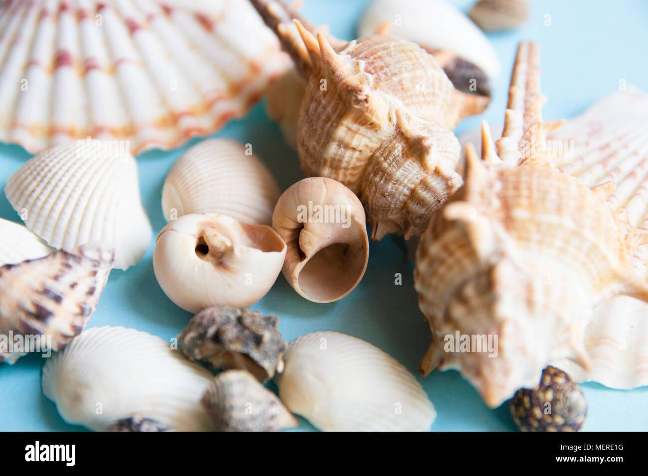 Seashells flat lay pattern on blue background, sea vacation background close up - Stock Image
