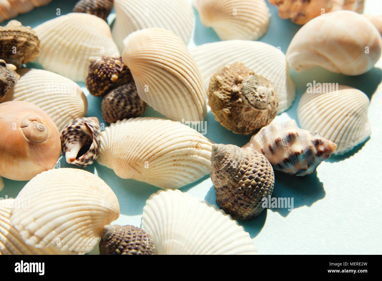 Seashells flat lay pattern on blue background, sea vacation background close up - Stock Image