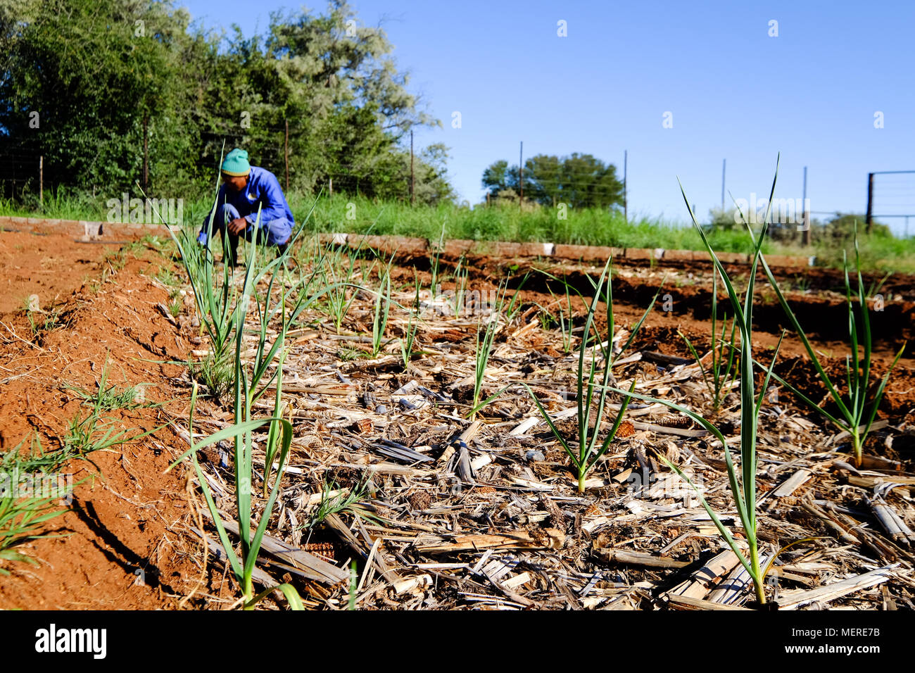 Farm Worker tending to Vegetable Garden Organic Vegetable Garden Small scale vegetable farm Small scale garlic production - Stock Image