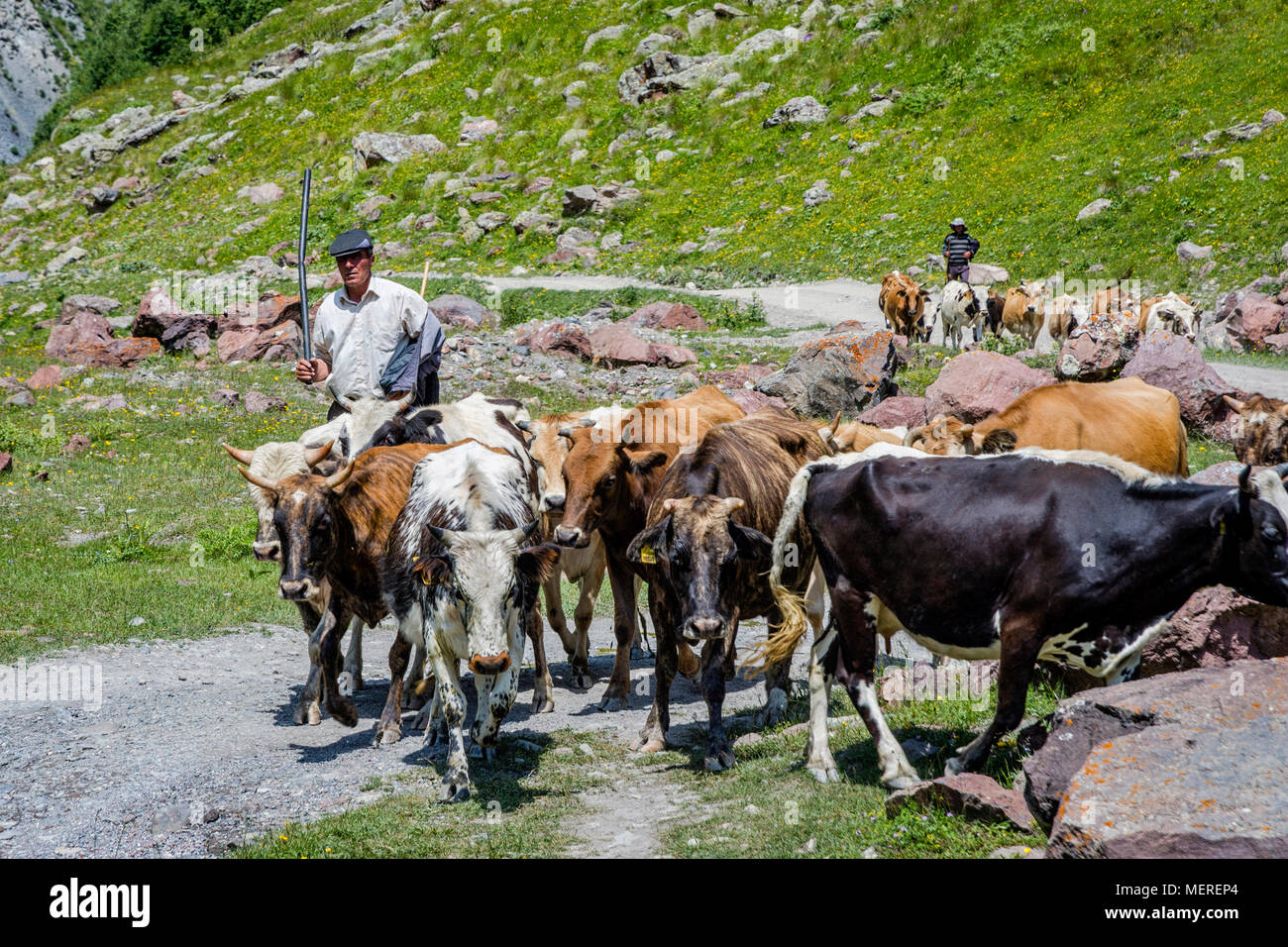 TRUSO VALLEY, GEORGIA - JULY 17: Shepherd guiding herd of cows in Truso valley. July 2017 - Stock Image