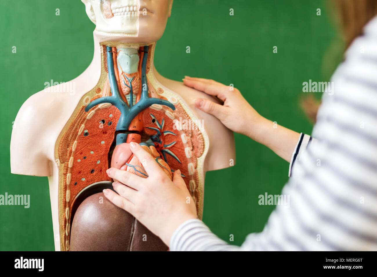 Close up of a high school student learning anatomy in biology class ...