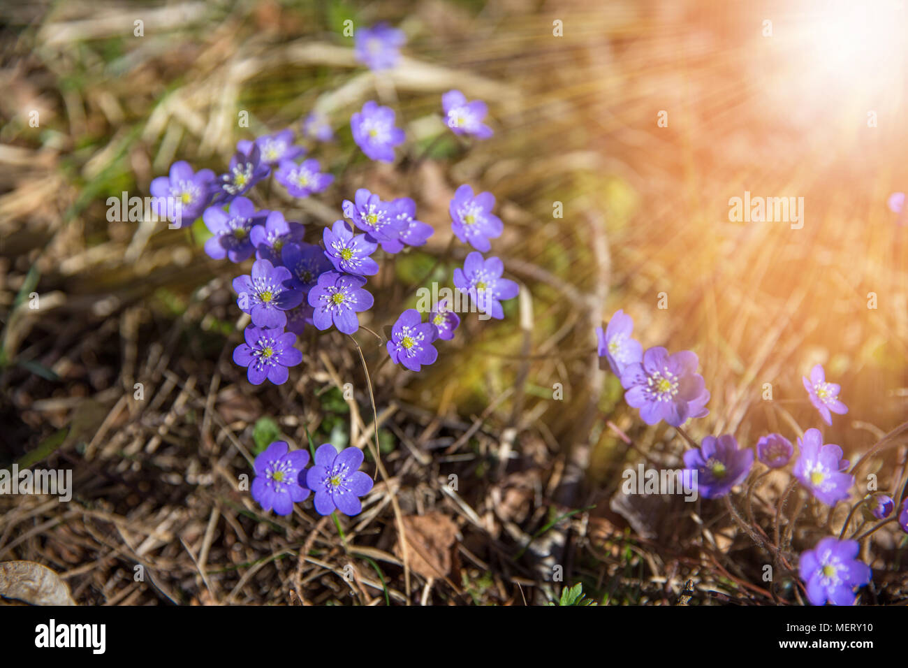 Common Hepatica, Hepatica nobilis in garden, First spring blue ...