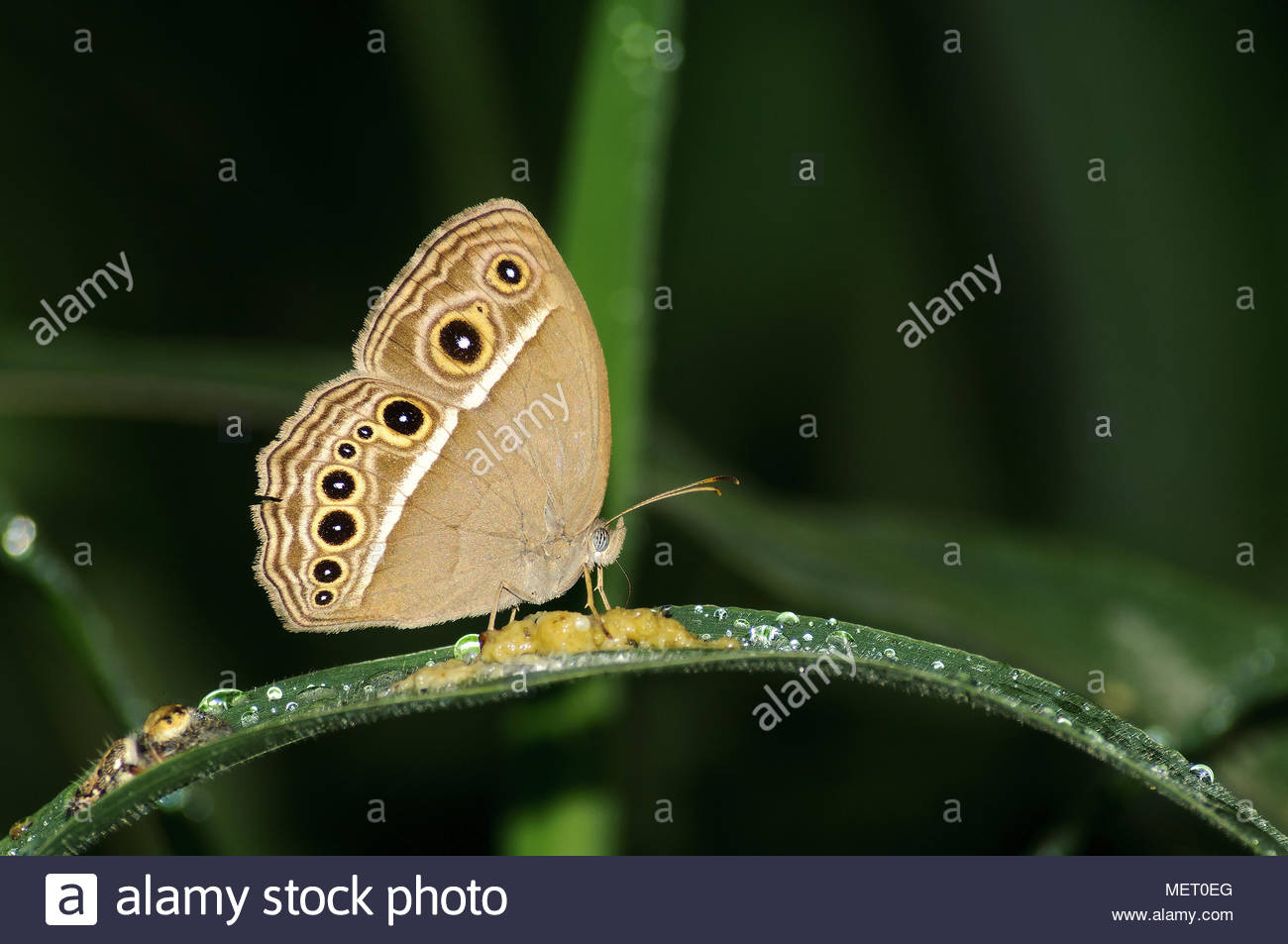 This is a kind of butterfly with sober colors. Upperside dark Vandyke brown; forewings and hindwings with slender subterminal and terminal pale lines. - Stock Image