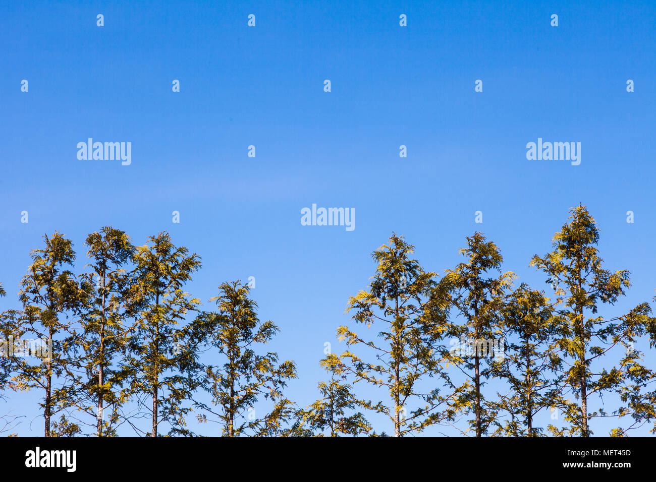 Abstract image of the tips of a Western Red Cedar hedge - Stock Image