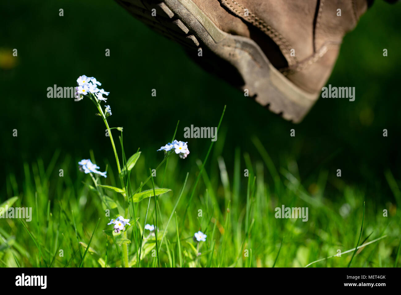 Vulnerable flower nearly trod on by a boot - Stock Image