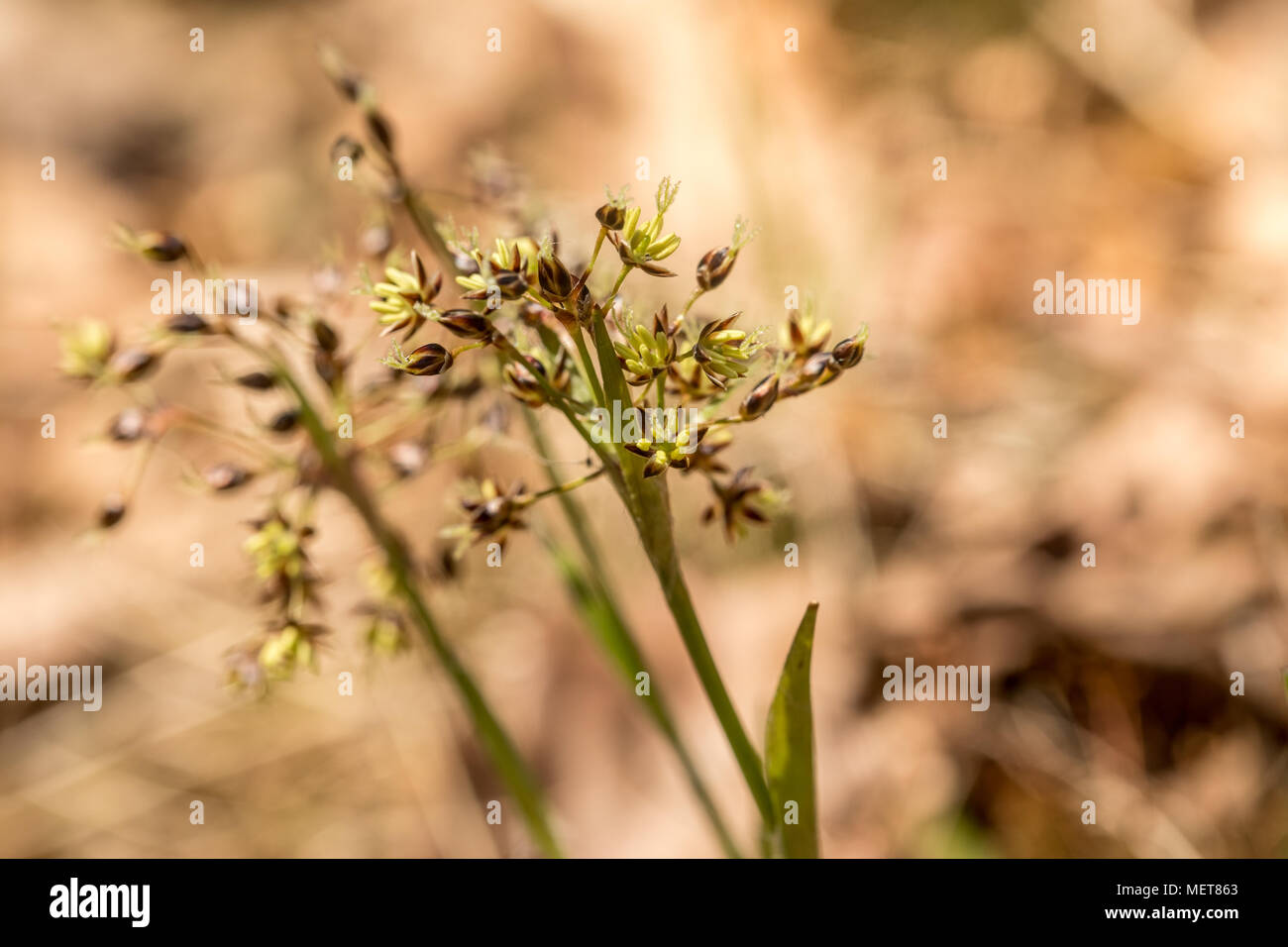 Hairy wood-rush, Luzula pilosa, flowering in april. Norway, Europe. - Stock Image