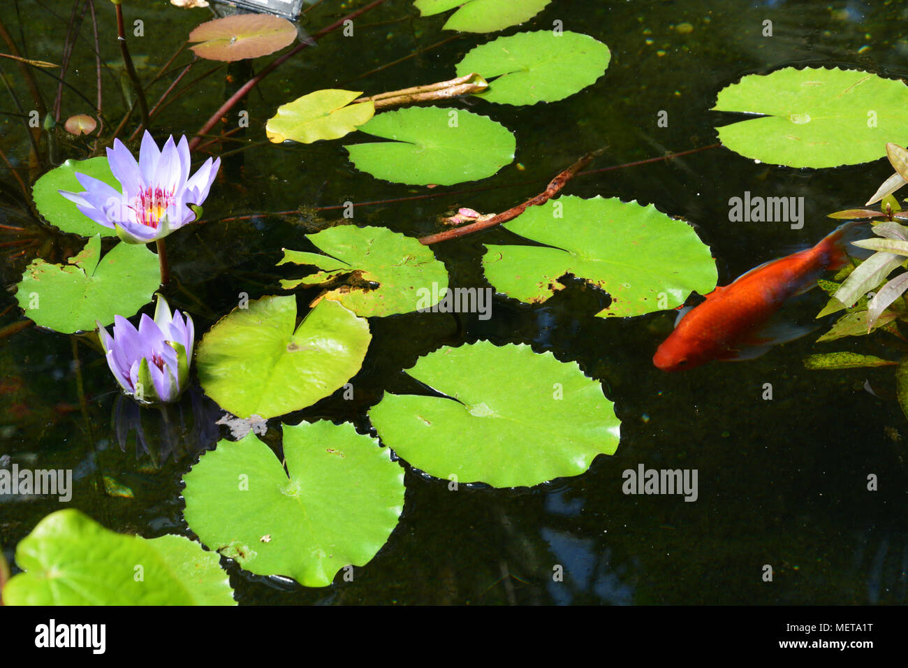 Purple lotus flower in a koi pond in a conservatory greenhouse stock purple lotus flower in a koi pond in a conservatory greenhouse izmirmasajfo