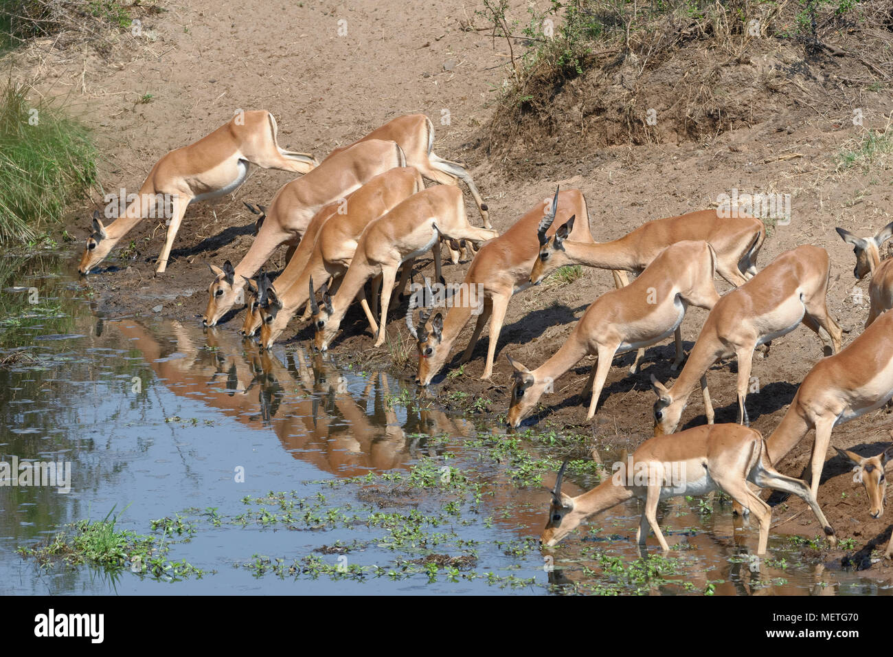 Herd of impalas (Aepyceros melampus) drinking at a waterhole, Kruger National Park, South Africa, Africa Stock Photo