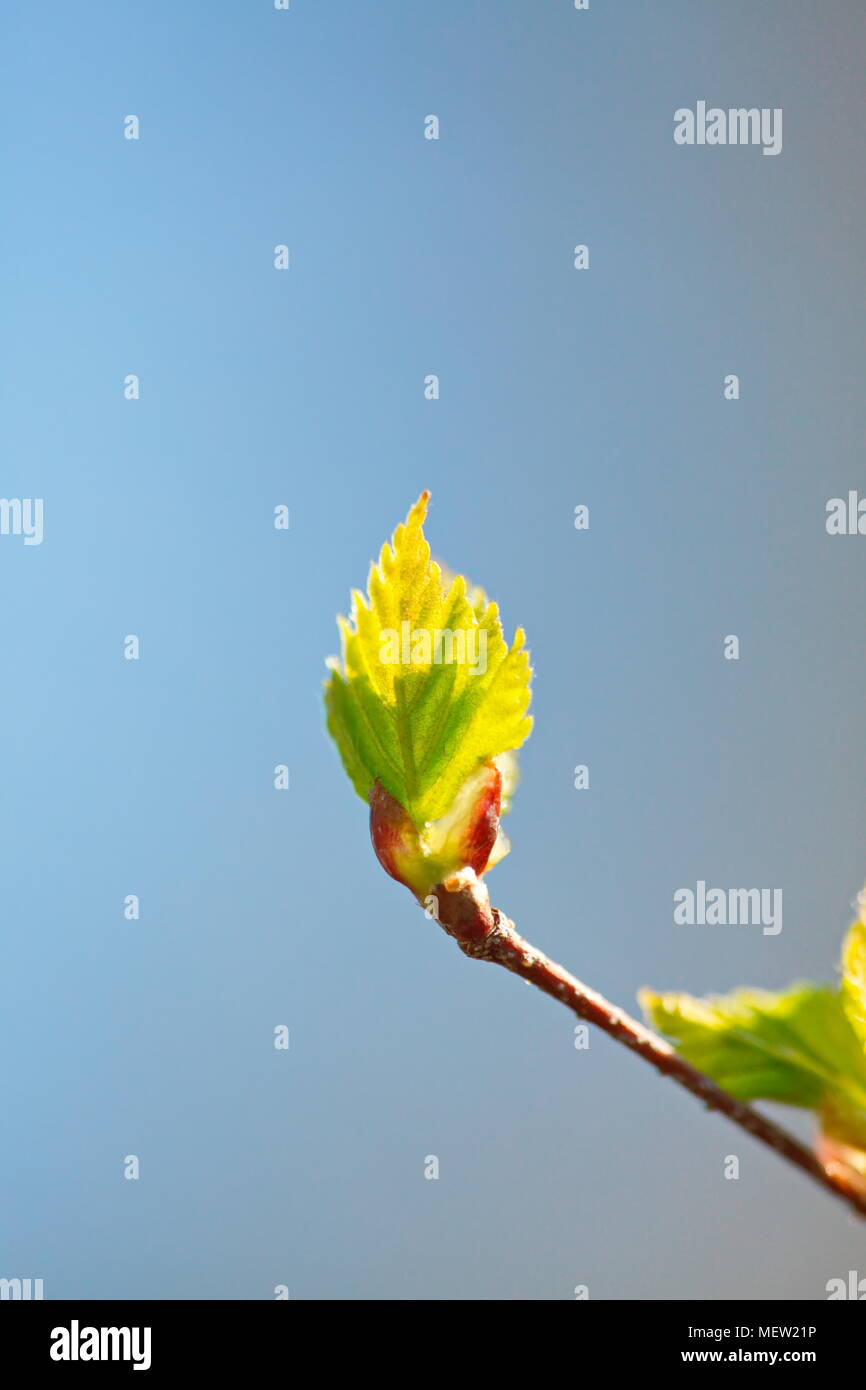 Close up of budding leaves in spring Stock Photo