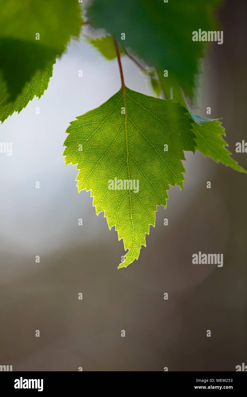 Close up of birch leaves on a sunny spring day Stock Photo