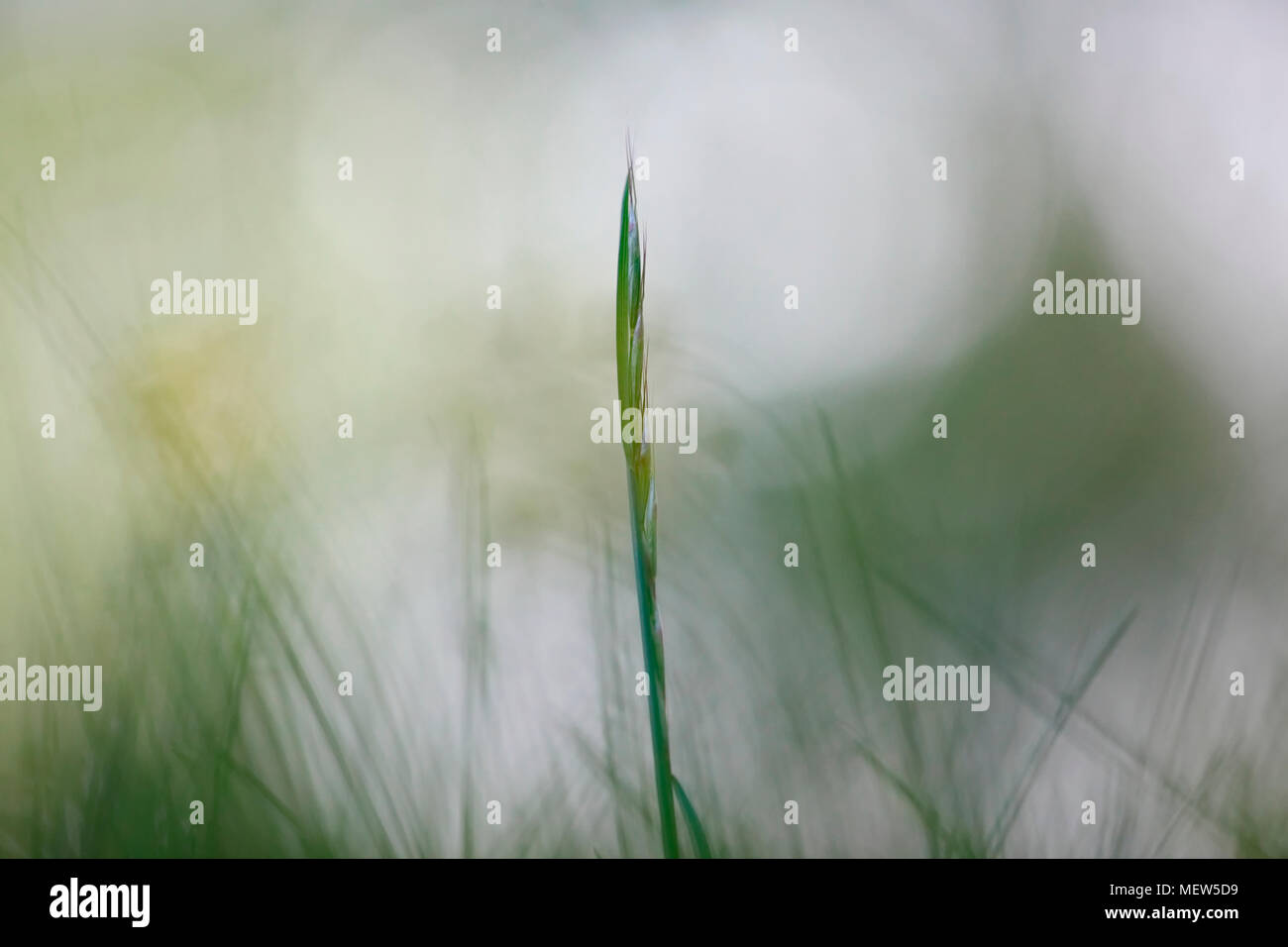 A single blade of green grass is standing out in a meadow. - Stock Image