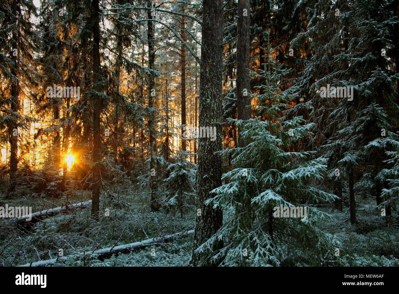 The low winter sun shines through  fost covered trees in a wintry forest. Stock Photo