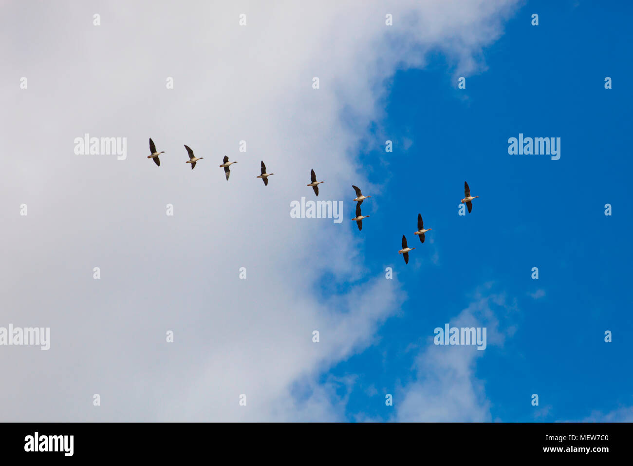 A flock of wild geese is flying through the blue spring sky Stock Photo