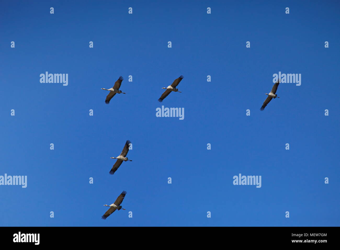 Common cranes (Grus grus) are soaring through the sky on a sunny day in spring. - Stock Image