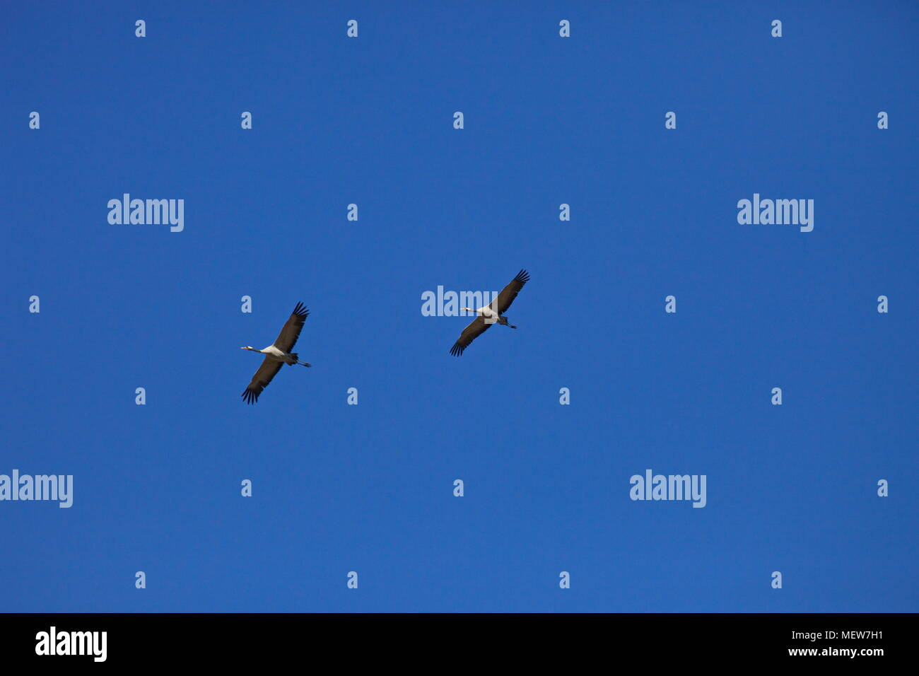 Common cranes (Grus grus) are soaring through the sky on a sunny day in spring. Stock Photo