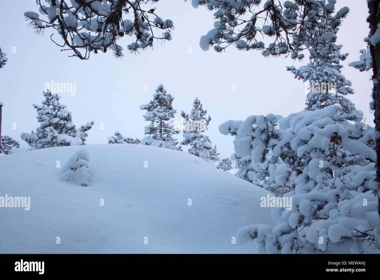 Snow covered pine trees and boulders are forming an intricate pattern in the blue light of dusk. - Stock Image