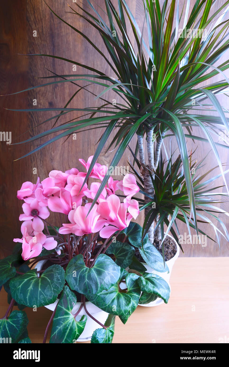 Potted flowers blooming pink cyclamen and tropical plant dracaena potted flowers blooming pink cyclamen and tropical plant dracaena mightylinksfo