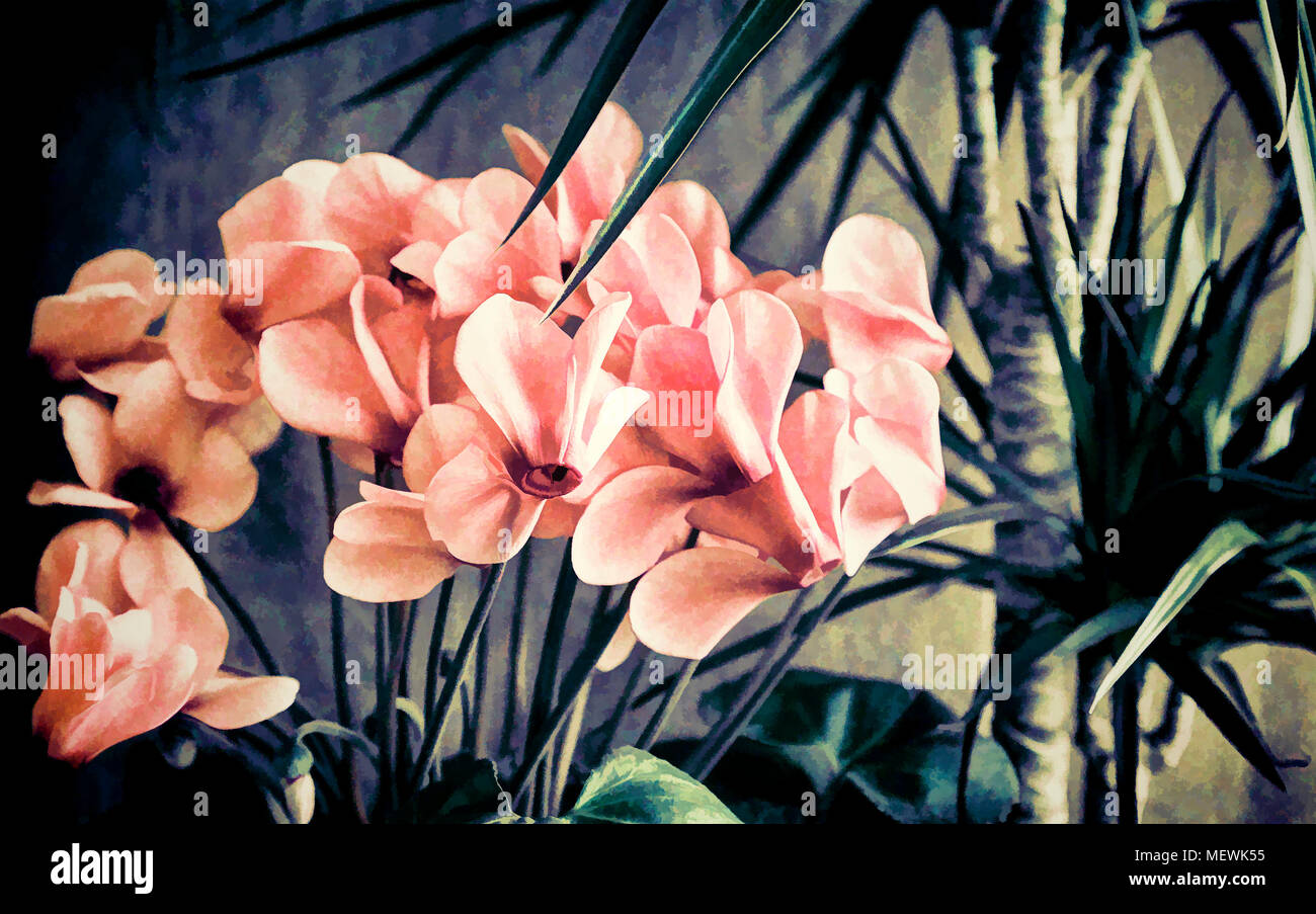 Potted Flowers Blooming Pink Cyclamen And Tropical Plant Dracaena