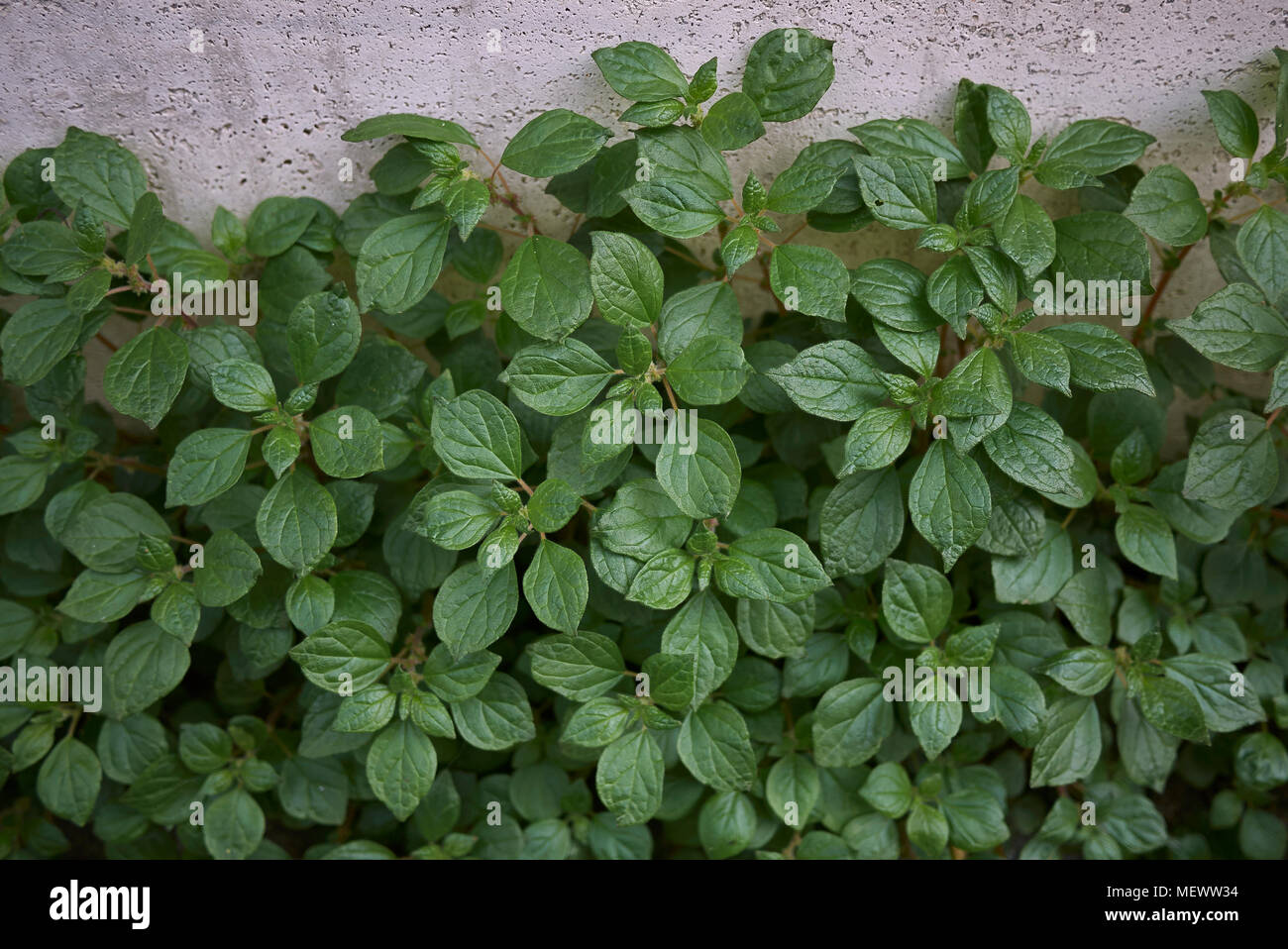Parietaria Officinalis Plants Stock Photo 181277352 Alamy