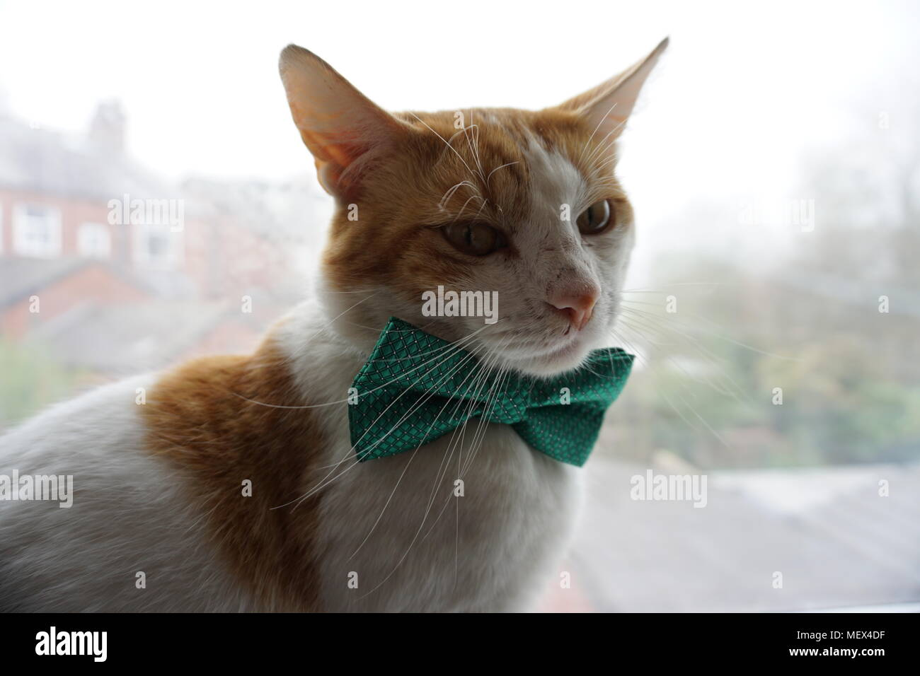 White & Ginger Sat On The Window Sill Wearing A Green Bow tie - Stock Image