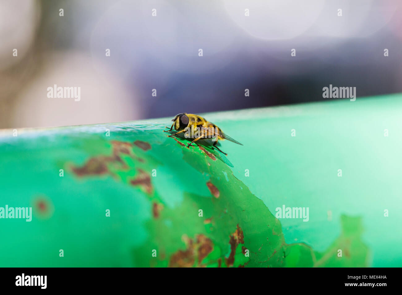 Close-up of a small bee on a metal lever - Stock Image