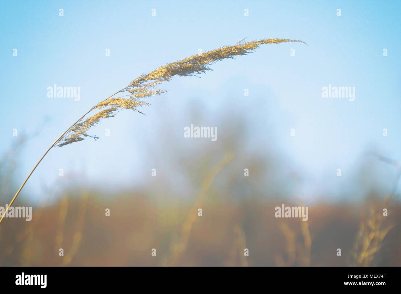 Dry blade of grass swaying in the wind - Stock Image