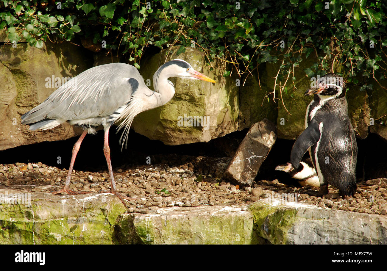 Heron and Penguin facing each other on a embankment - Stock Image