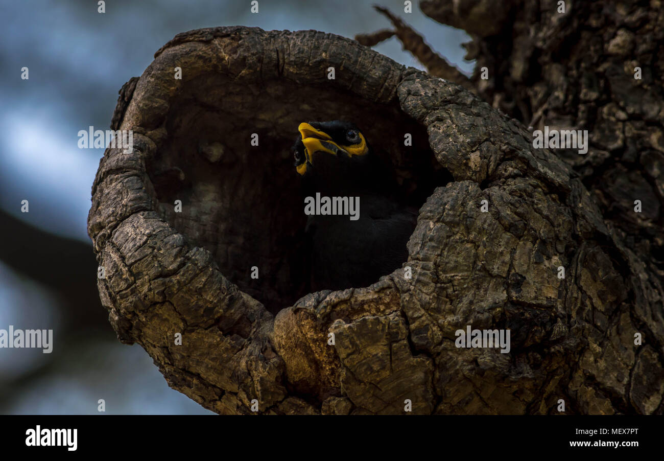 A common myna (Acridotheres tristis) nesting in a tree hole. - Stock Image