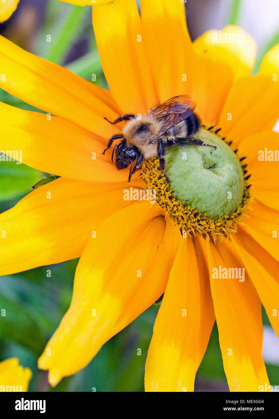 Close-up of a Honey Bee, genus Apis, collecting pollen from a yellow sunflower with a green center. Stock Photo