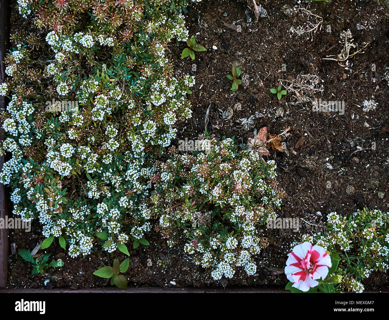 A Lot Of Small White Flowers In The Flowerbed With Big Pink Flower
