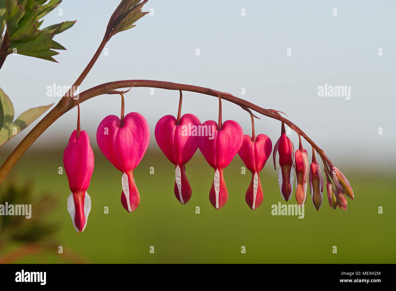 The Heart Shaped Pink And White Flowers Of Bleeding Heart Also