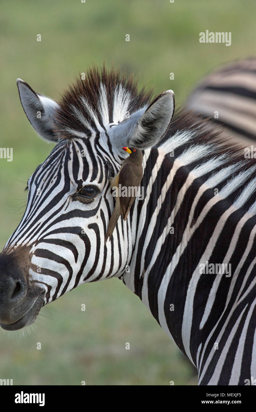 Burchell's Zebra (Equus burchelli). With Red-billed Oxpecker (Buphagus erythorhynchus), attached, seeking external parasites in the form of ticks and  - Stock Image