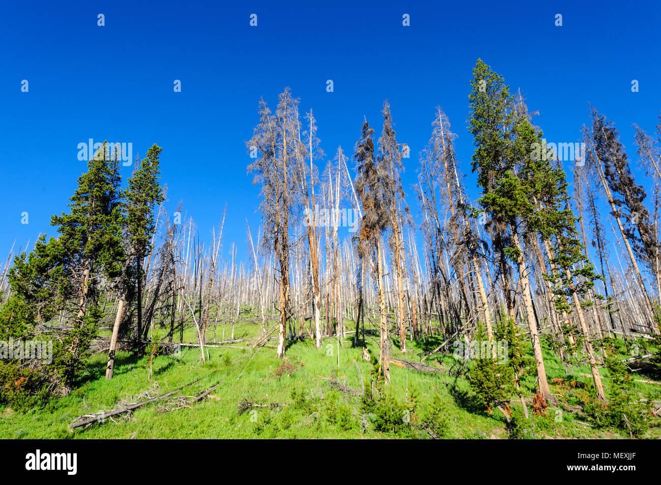 Trees in Yellowstone - Stock Image