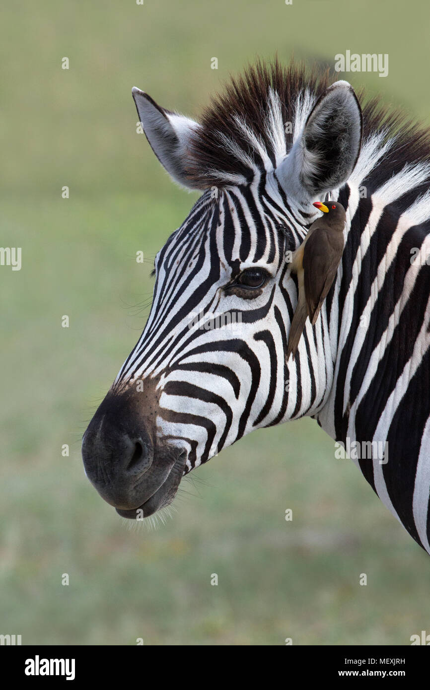 Burchell's Zebra (Equus burchelli). With Yellow-billed Oxpecker (Buphagus africanus), attached, seeking external parasites in the form of ticks and fl - Stock Image