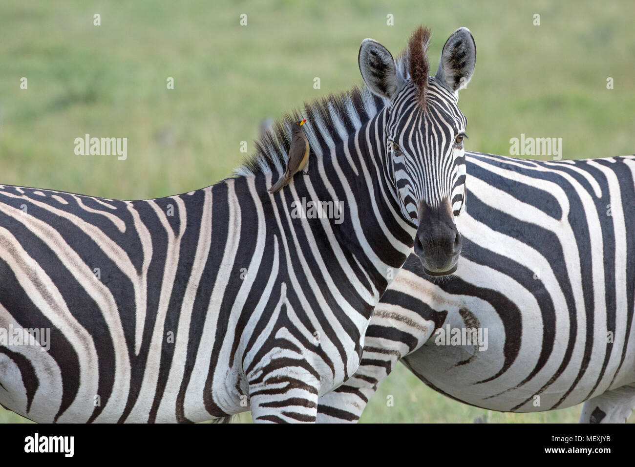 Burchell's or Plains Zebra (Equus quagga burchellii).  Showing upright mane, typical of all zebras. NB Oxpecker bird, alongside the mane, looking for  - Stock Image